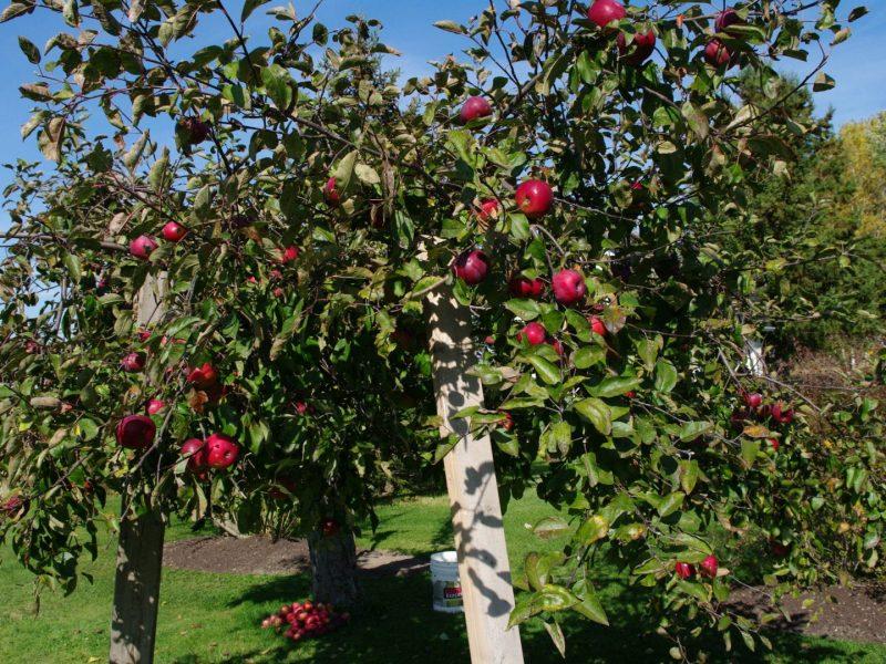 Pommier en automne