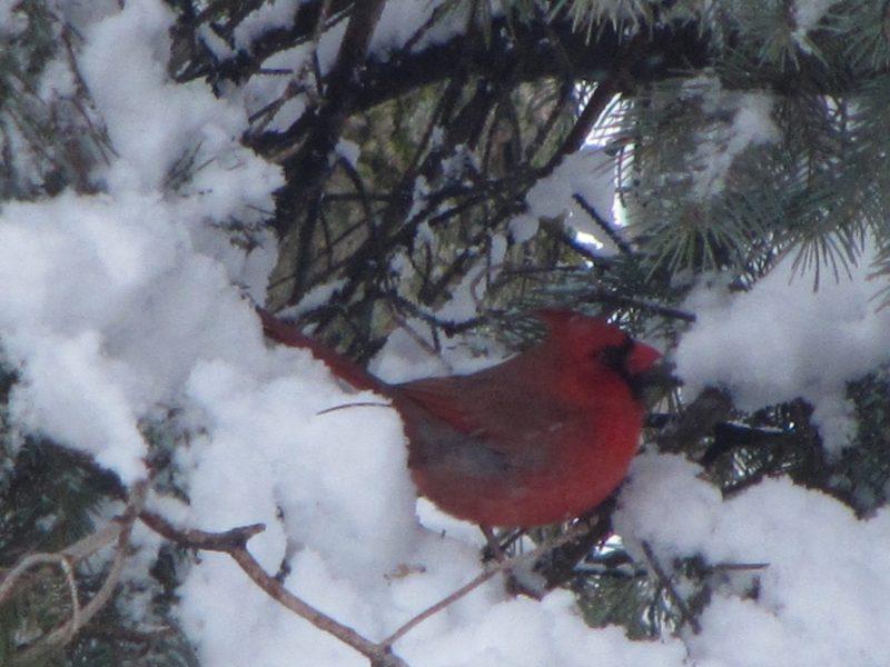 Cardinal dans un arbre en hiver